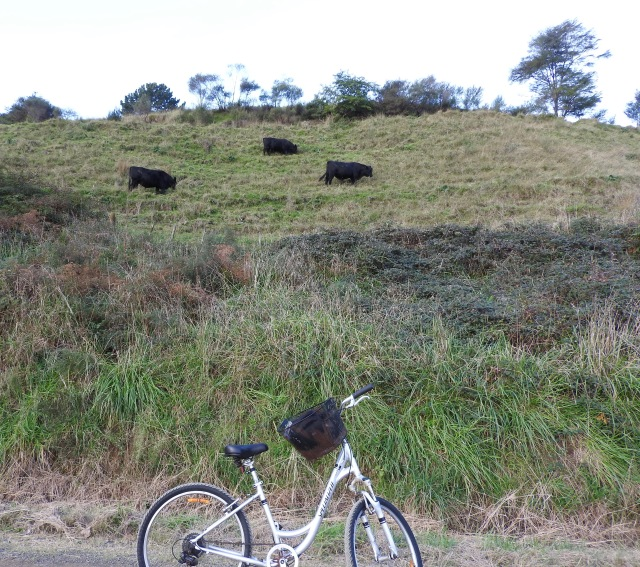 Bulls on Maraetotara Rd., Ohope
